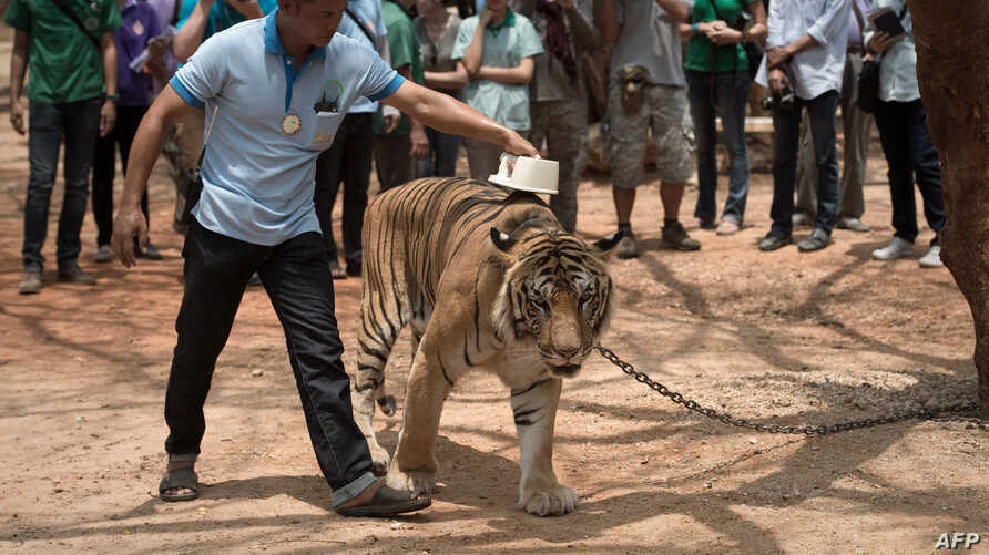 FILE - A wildlife official scans the microchip implanted in a tiger at the Wat Pha Luang Ta Bua tiger temple in Kanchanaburi province, April 24, 2015.