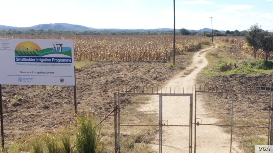 Maize crop at an irrigation scheme in drought-prone Masvingo district, Zimbabwe, about 300 km south of Harare, which was repaired by the U.N.'s Food and Agriculture Organization at a former commercial farm, May 2019. (C. Mavhunga/VOA)