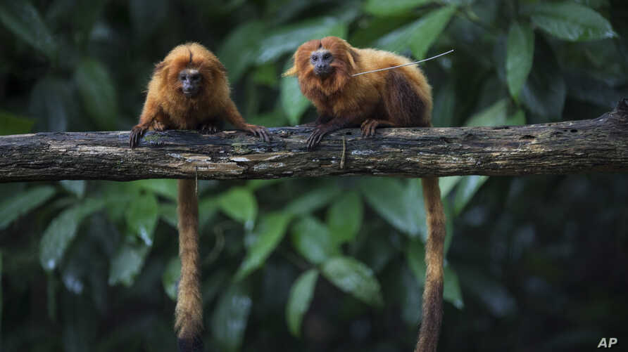 Golden lion tamarins sit on a tree branch in the Atlantic Forest in Silva Jardim, state of Rio de Janeiro, Brazil, April 15, 2019.