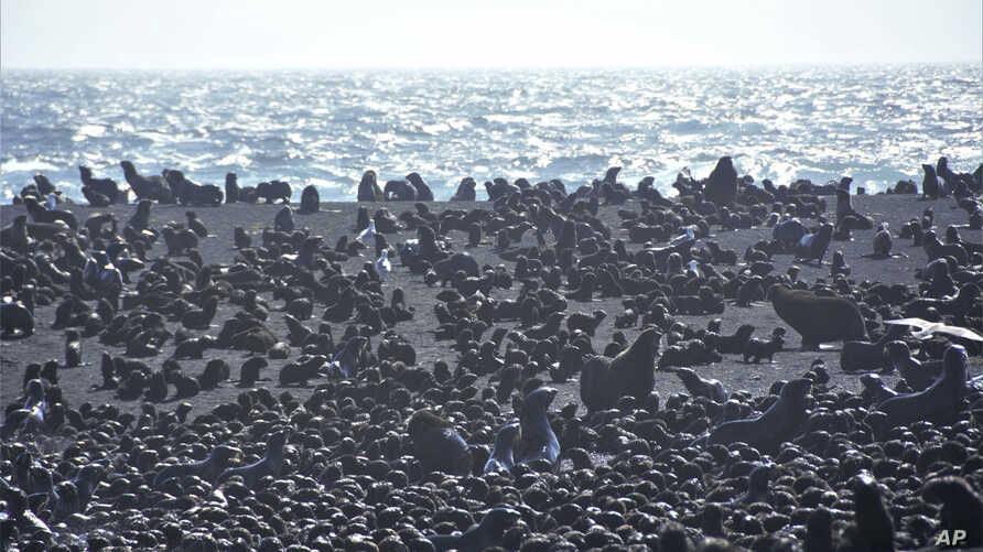 This August 2019 photo released by the National Oceanic and Atmospheric Administration Fisheries (NOAA) shows northern fur seal adults and pups on a beach on Bogoslof Island, Alaska.