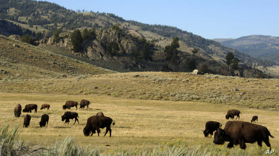 FILE - A herd of bison grazes in the Lamar Valley of Yellowstone National Park, Aug. 3, 2016.