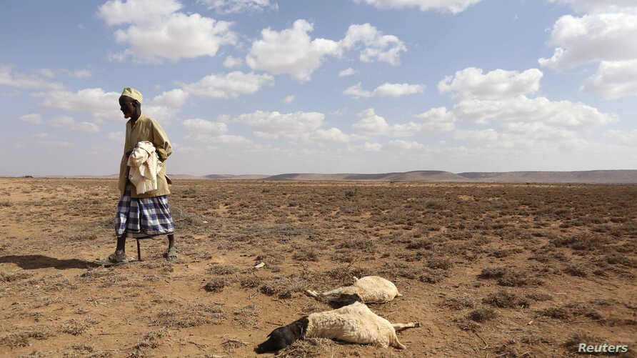 A man walks past the carcass of sheep that died from the El Nino-related drought in Marodijeex town of southern Hargeysa, in…
