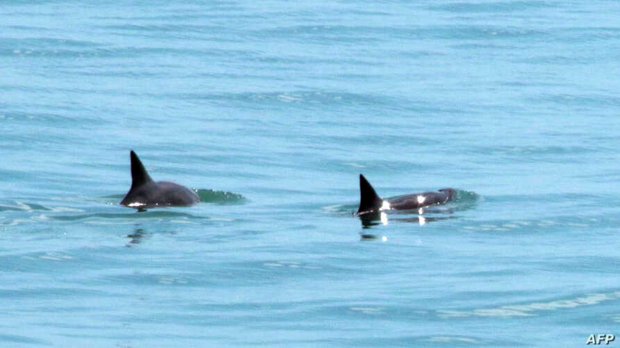 Handout picture released by Sea Sheperd environmental organization showing two vaquita marina porpoises -the world's smallest…