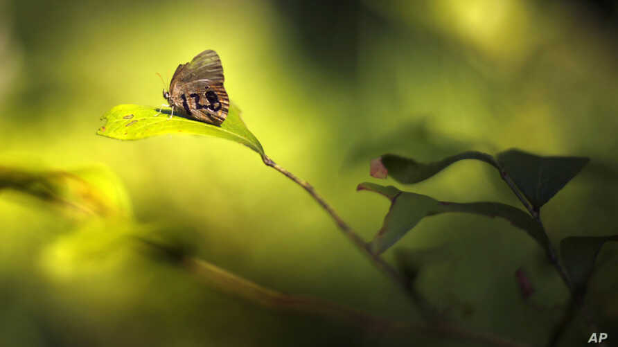 In this Monday, July 29, 2019 photo, a St. Francis' satyr butterfly rests on a leaf in a swamp at Fort Bragg in North Carolina…