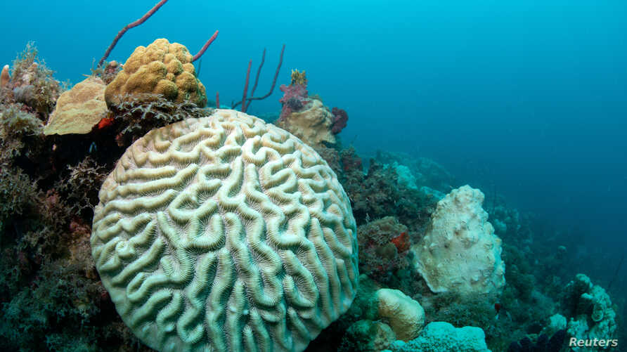 A bleaching event causes discoloring as it affects a boulder brain coral (Colpophyllia natans) off the coast of St Thomas in…