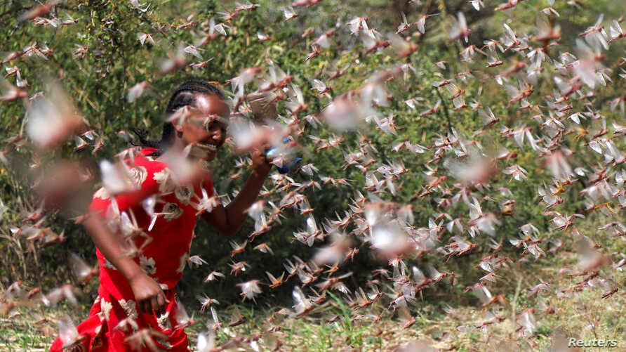 A girl attempts to fend off desert locusts as they fly in a farm on the outskirt of Jijiga in Somali region, Ethiopia, Jan. 12, 2020.