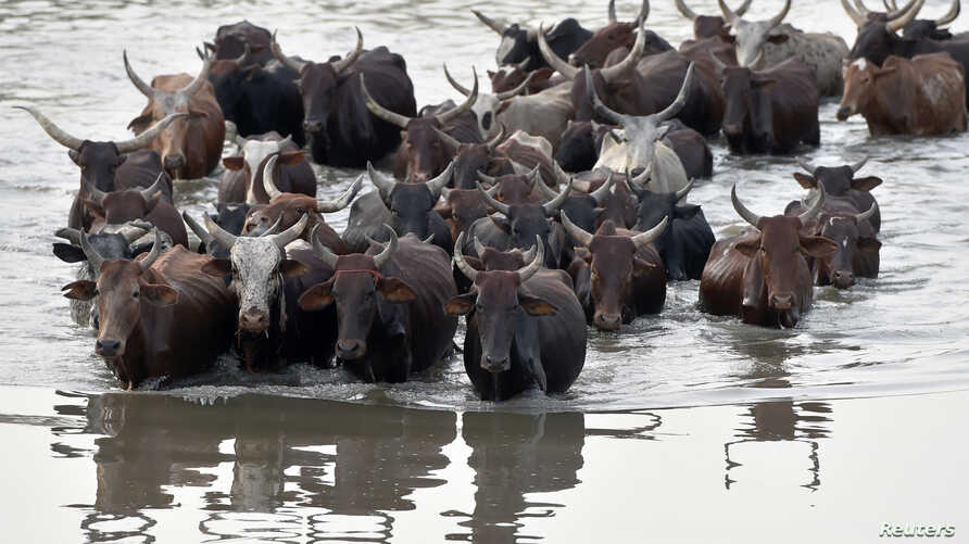 Cattle wade through a section of Lake Chad whose waters border Nigeria, Nigeria and Cameroon on March 30, 2015 at the village…