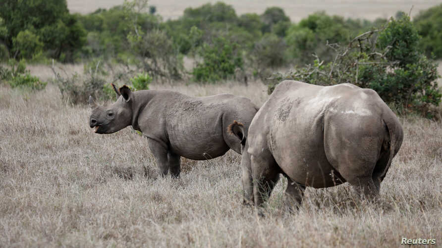 A black rhino calf (L) and its mother are seen at the Ol Pejeta Conservancy in Laikipia national park near Nanyuki, Kenya, May…