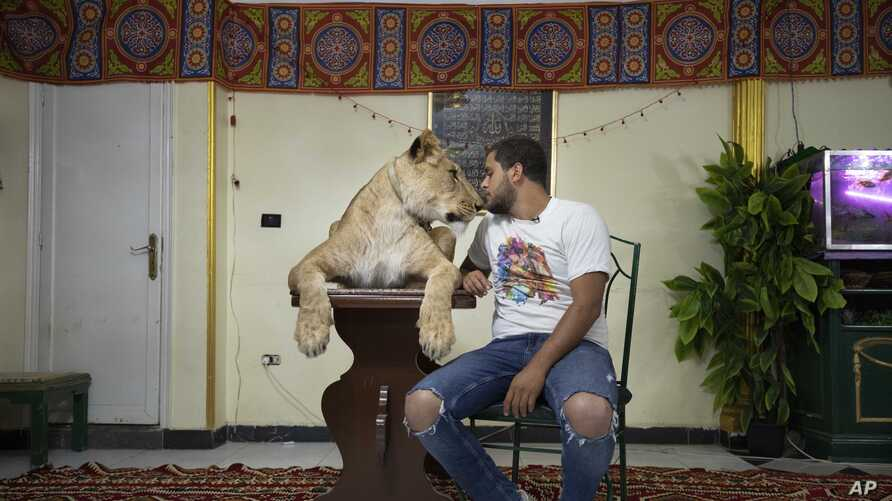In this April 28, 2020 photo, 26-year-old lion tamer Ashraf el-Helw sits next to his 5-year-old female African lion 'Joumana,'…