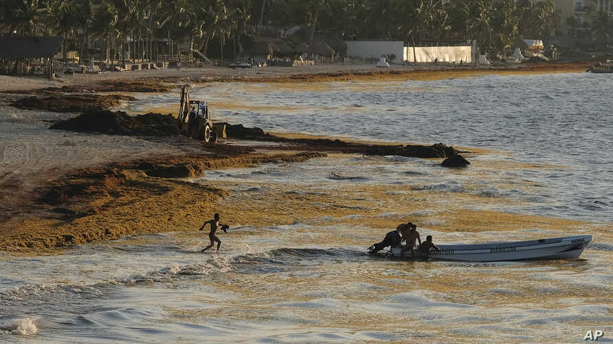 In this May 8, 2019 file photo, sargassum seaweed fills the shore where fishermen push their boat to sea in Playa del Carmen, Mexico.