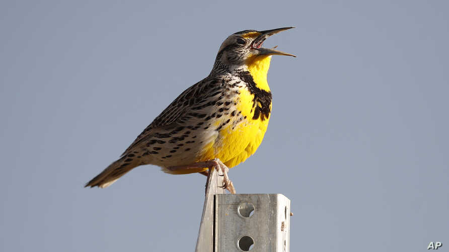 FILE - This April 14, 2019 file photo shows a western meadowlark in the Rocky Mountain Arsenal National Wildlife Refuge in Commerce City, Colo. According to a study released on Thursday, Sept. 19, 2019, North America's skies are lonelier and quieter…