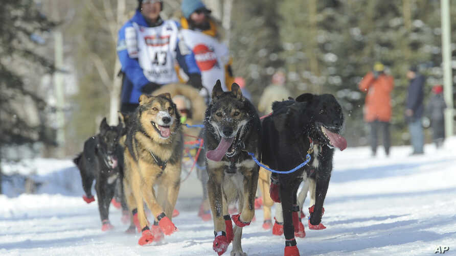 Iditarod musher Mishi Konno runs his team along the trail during the ceremonial start of the Iditarod Trail Sled Dog Race,…