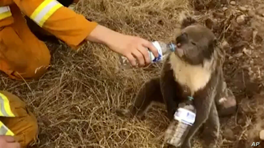 FIEL - In this image made from video taken on Dec. 22, 2019, and provided by Oakbank Balhannah CFS, a koala drinks water from a…