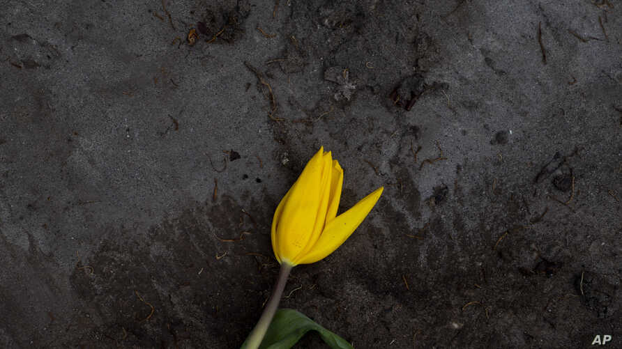 A wilted tulip lies discarded outside a flower farm in Lisse, near Amsterdam, Netherlands, Thursday, March 19, 2020. With…
