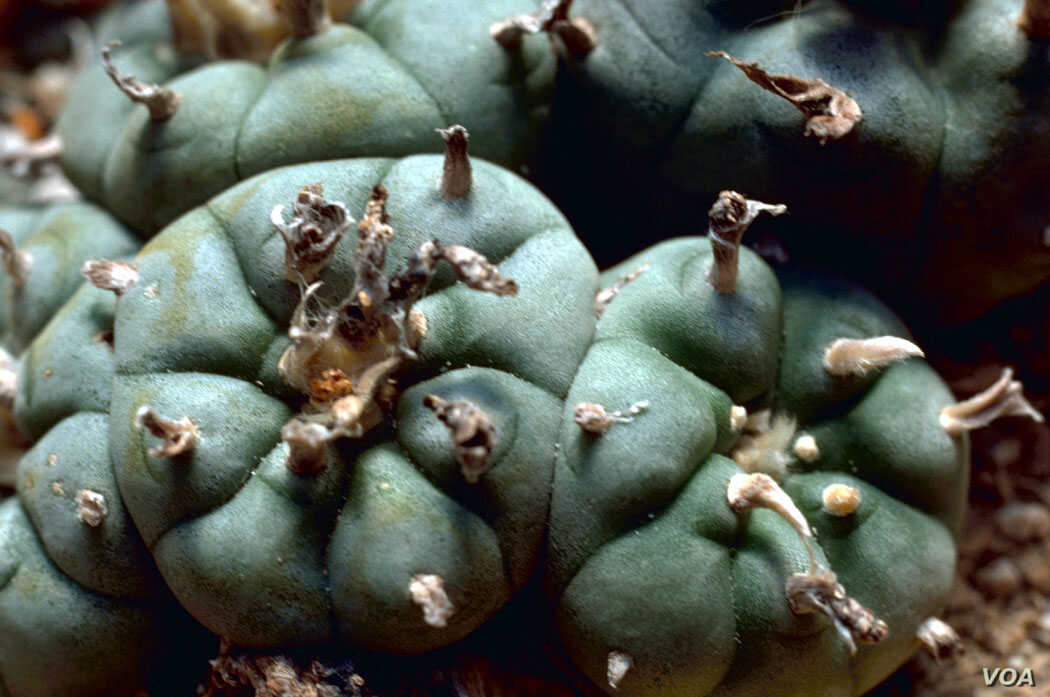 Lophophora williamsii, more commonly known as peyote, which grows in the wild in southern Texas and Mexico.