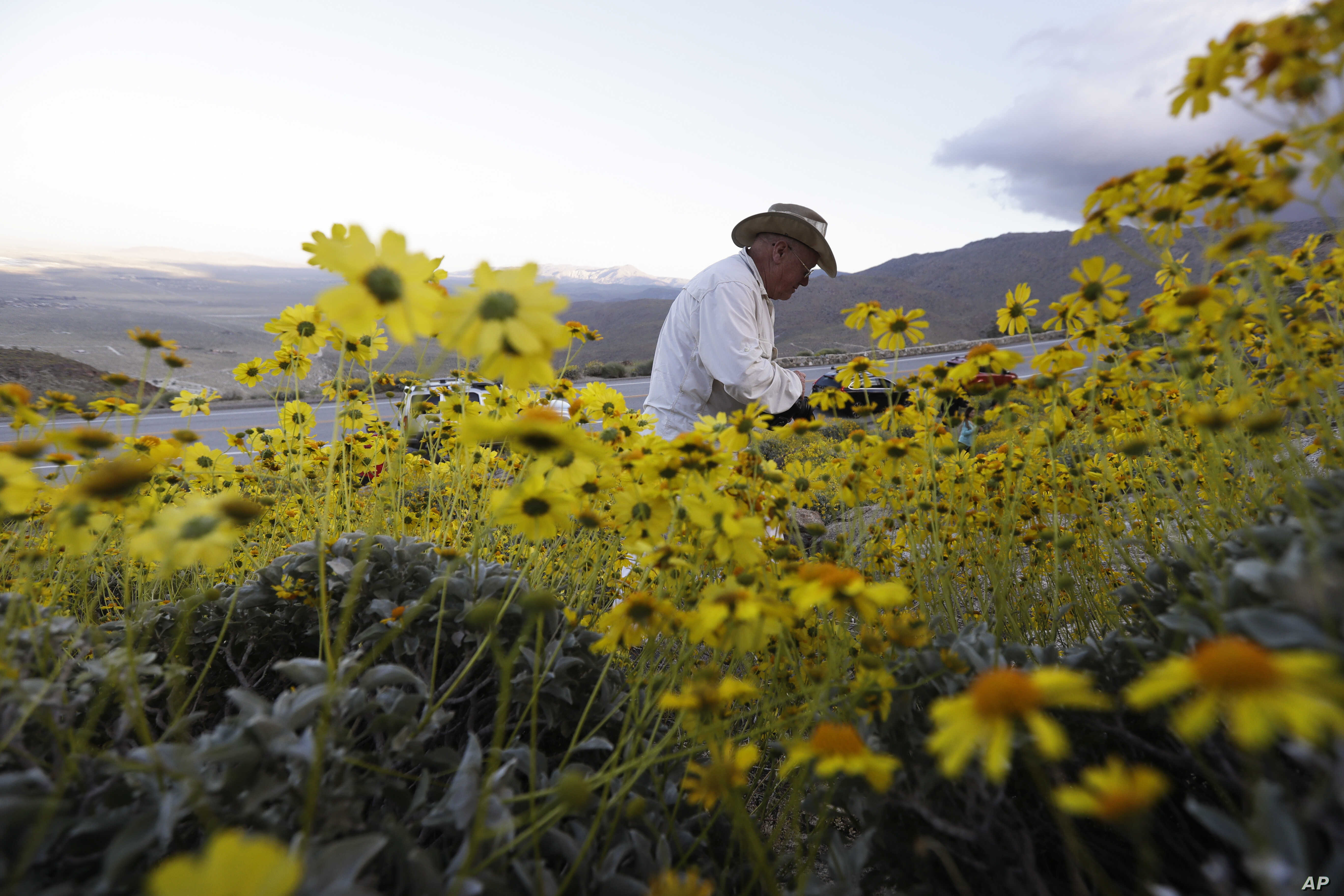 Retired California state park ranger Jim Long, of San Clemente, Calif., hunts for pictures among blooming desert shrubs in Borrego Springs, Calif., March 27, 2017. Rain-fed wildflowers have been sprouting from California's desert sands after lying do...