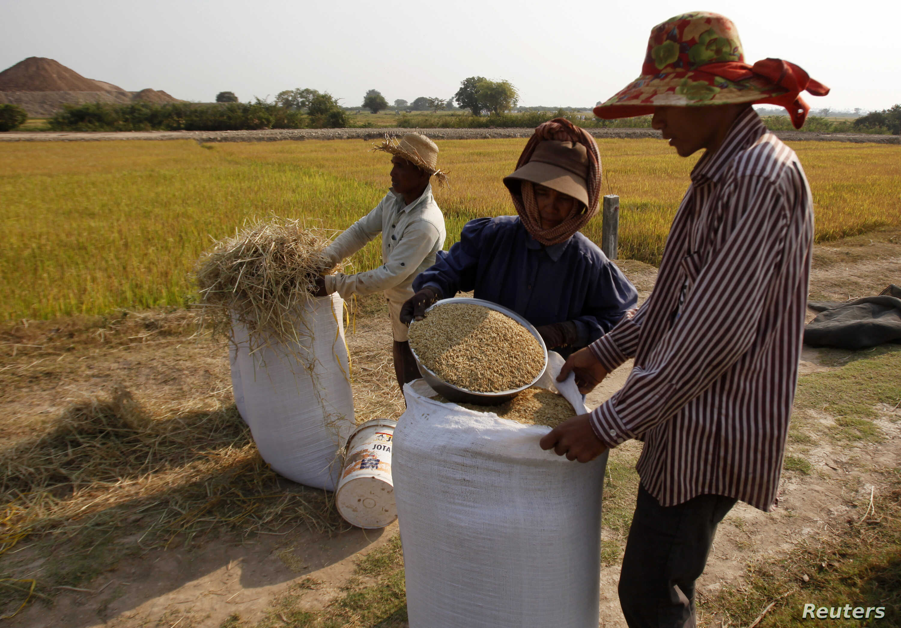 Farmers collect rice in a rice paddy field in Kandal province, Cambodia, Feb. 11, 2015.
