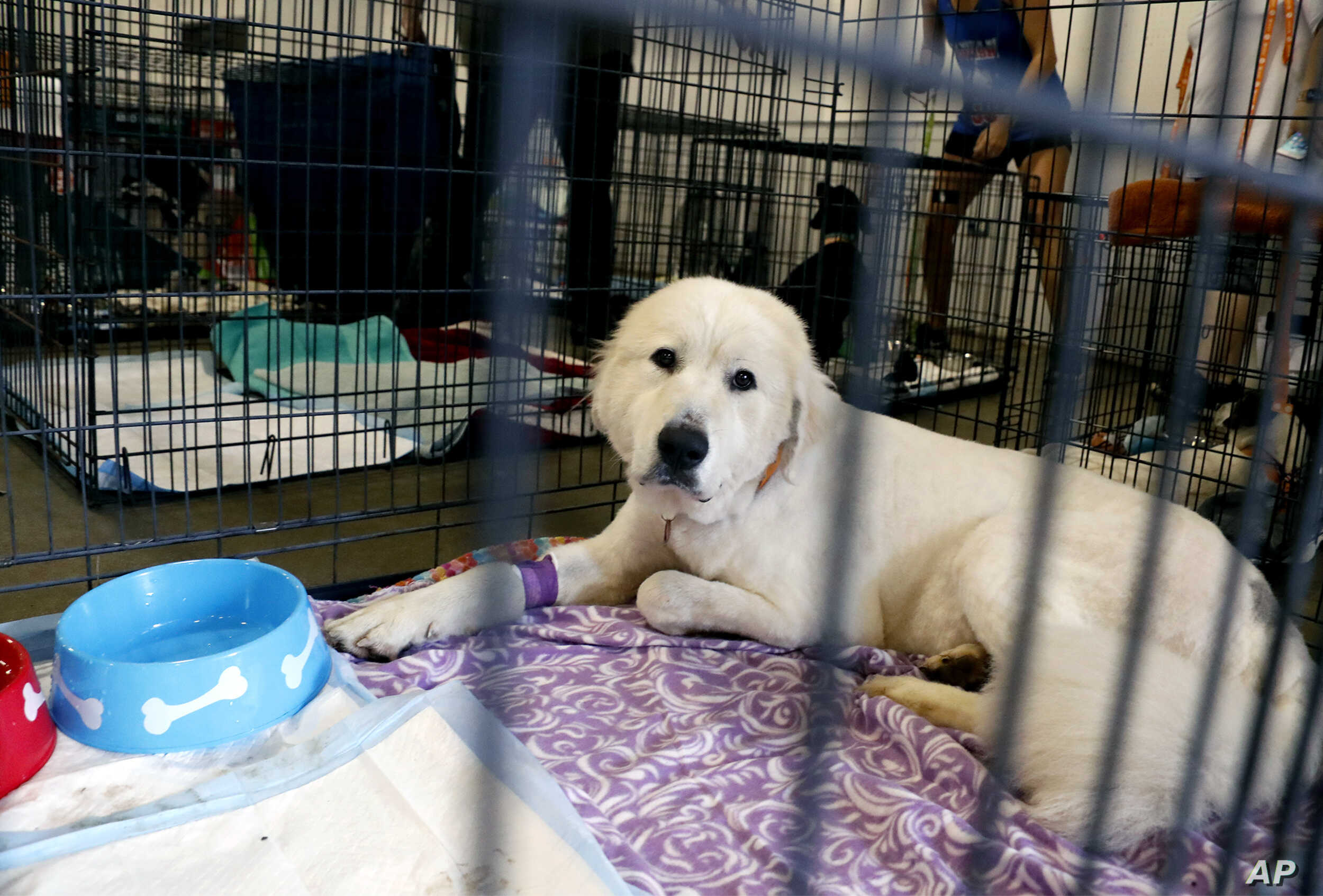 Pearl, a Great Pyrenees that was one of the animals rescued from an animal shelter in Carteret County, N.C., looks out from her cage in the Holshouser Building on the N.C. State Fairgrounds in Raleigh on Monday, Sept. 17, 2018.