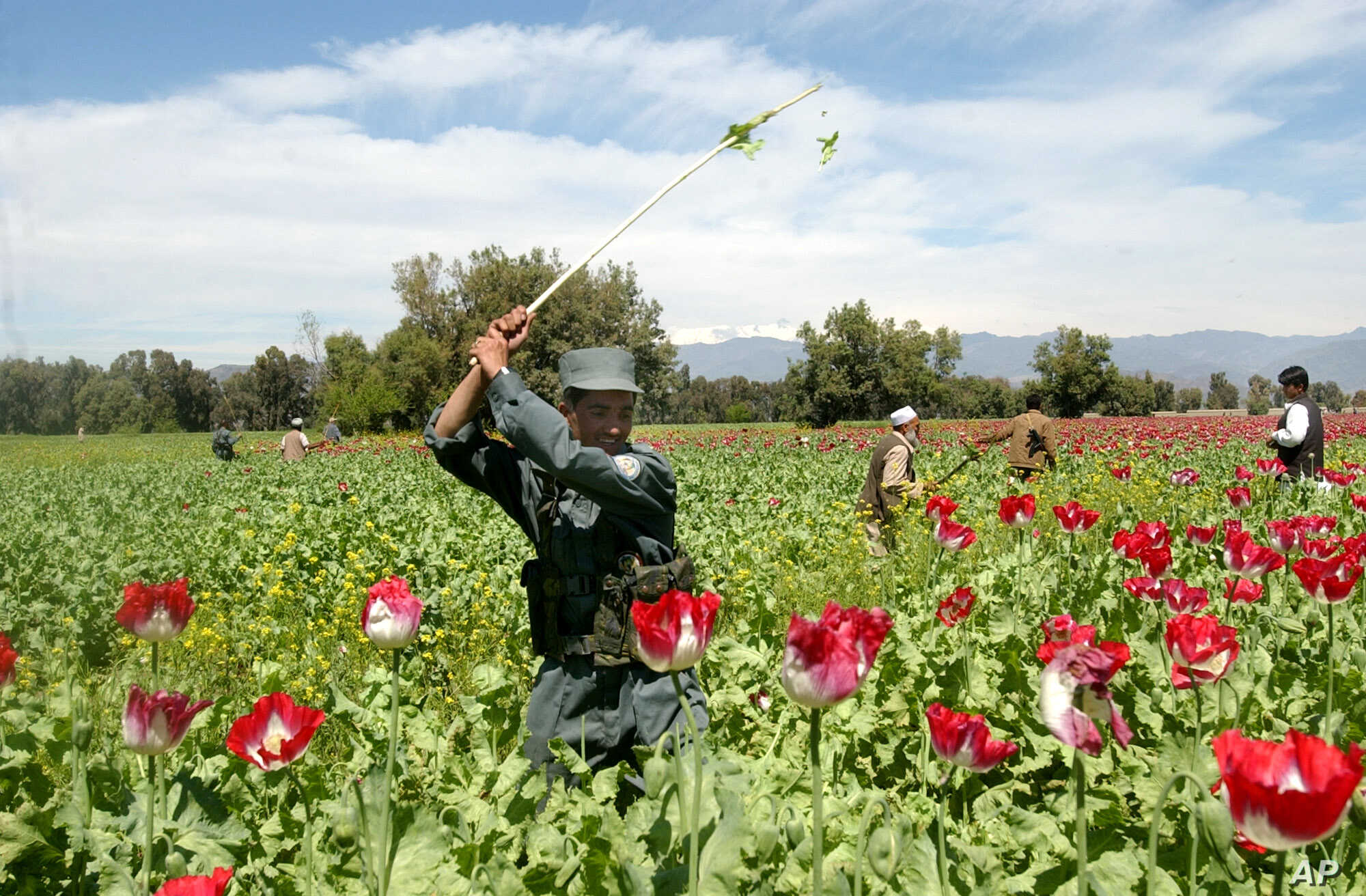 Narcotics in Afghanistan / Poppy eradication