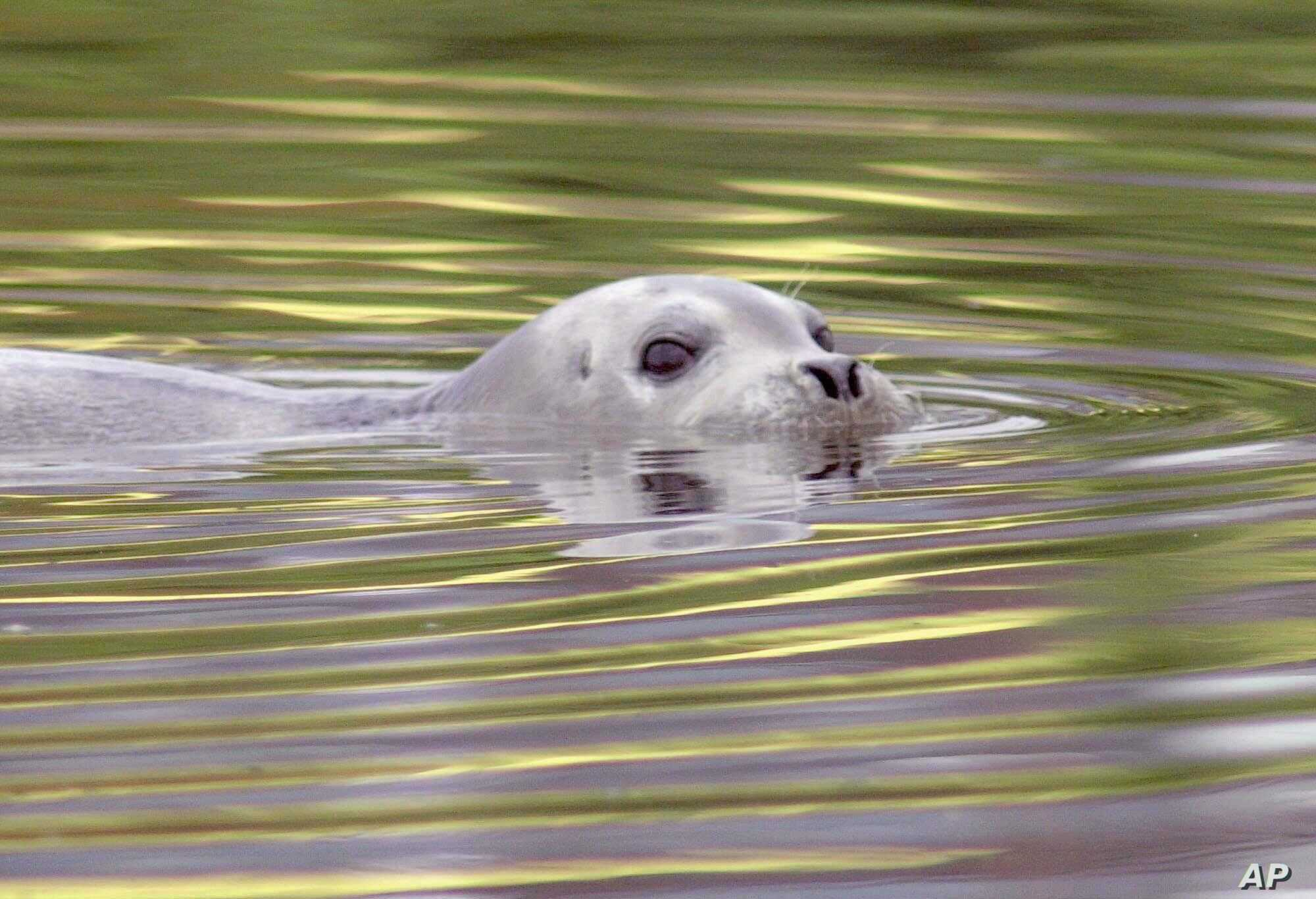 FILE - A bearded arctic seal, nicknamed Tama-chan by local residents, swims in the waters of the Tsurumi River in Kawasaki, near Tokyo, Japan.