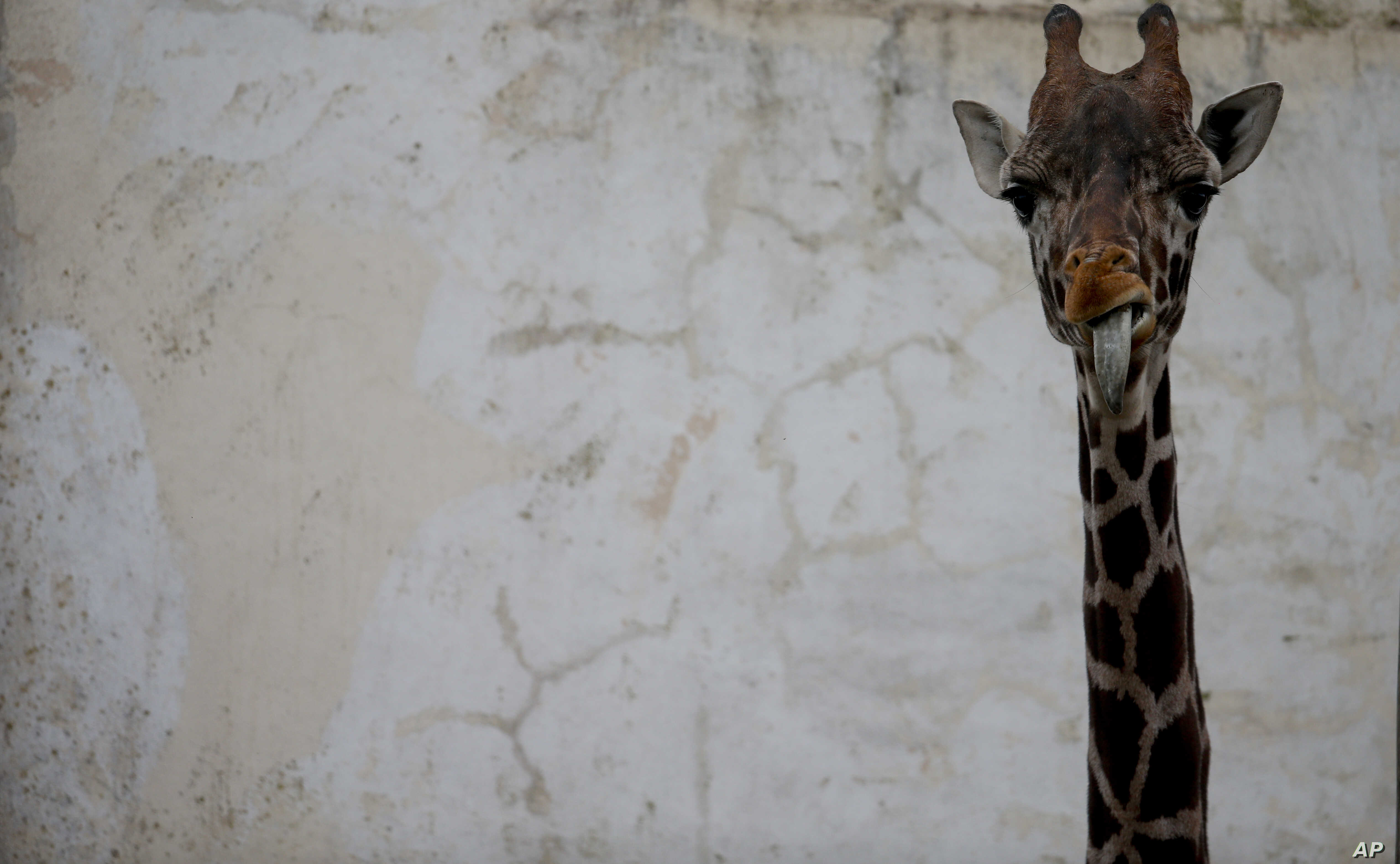 Ciro, a juvenile giraffe, stands in his enclosure, which he use to share with his mom Shaki, at the eco-park in Buenos Aires, Argentina, Aug. 7, 2018. Shaki died recently because of a stomach ulcer.