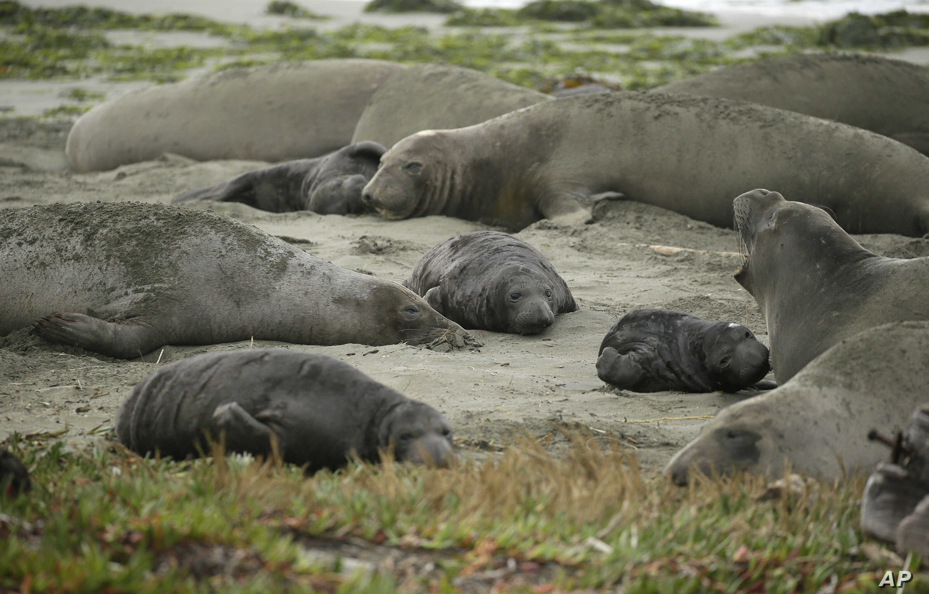 Elephant seals and their pups occupy Drakes Beach, Feb. 1, 2019, in Point Reyes National Seashore, Calif. Tourists were unable to visit a popular beach in Northern California because it had been taken over by a colony of nursing elephant seals during...