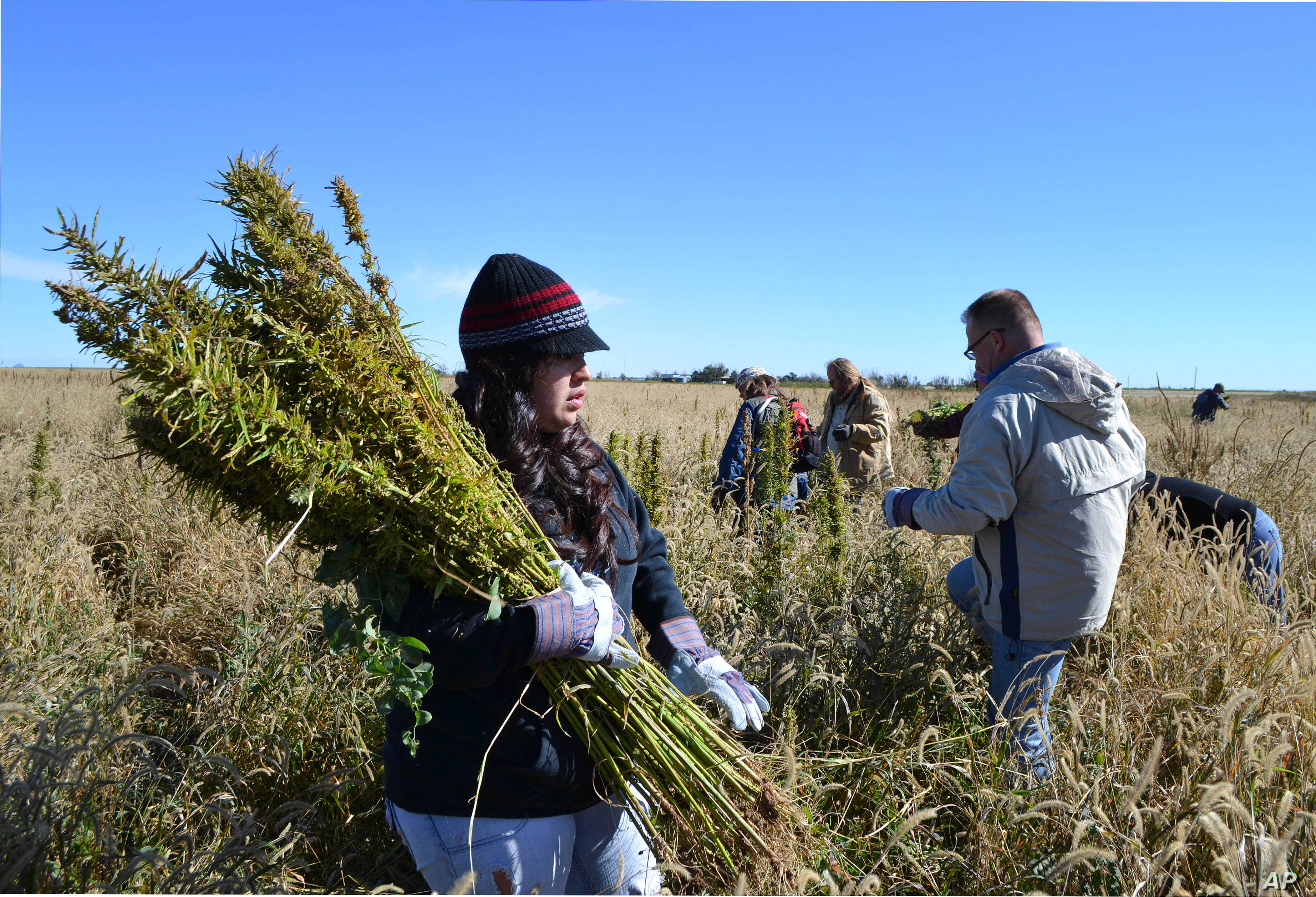 In this Oct. 5, 2013 photo, volunteers harvest hemp at a farm in Springfield, Colo. during the first known harvest of industrial hemp in the U.S. since the 1950s. America is one of hemp's fastest-growing markets, with imports largely coming from Ch...