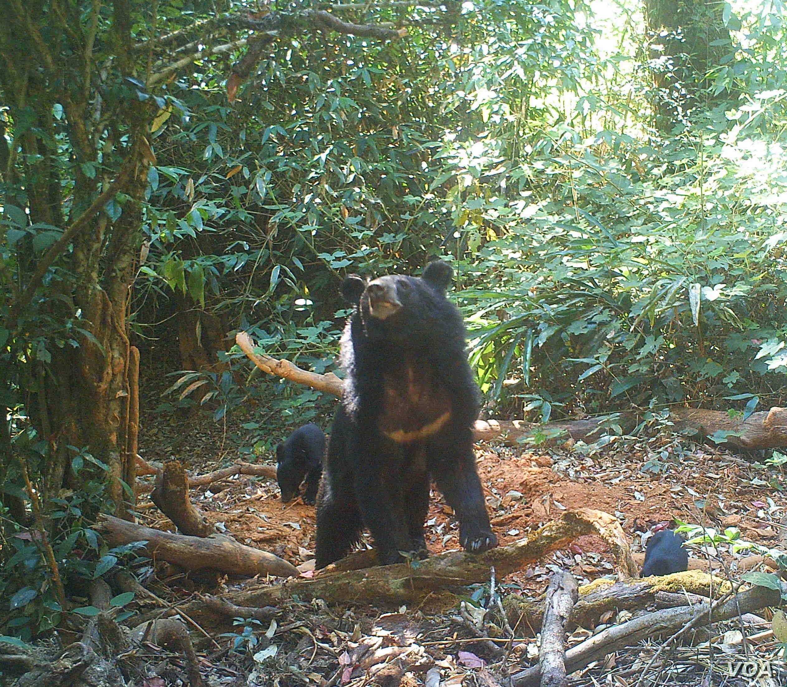 An Asian black bear and her cub are seen at a wildlife sanctuary in Myanmar's northern Karen state. Threats to the sanctuary's wildlife are emerging all the time and some will take considerable resources and international awareness to address, ac...