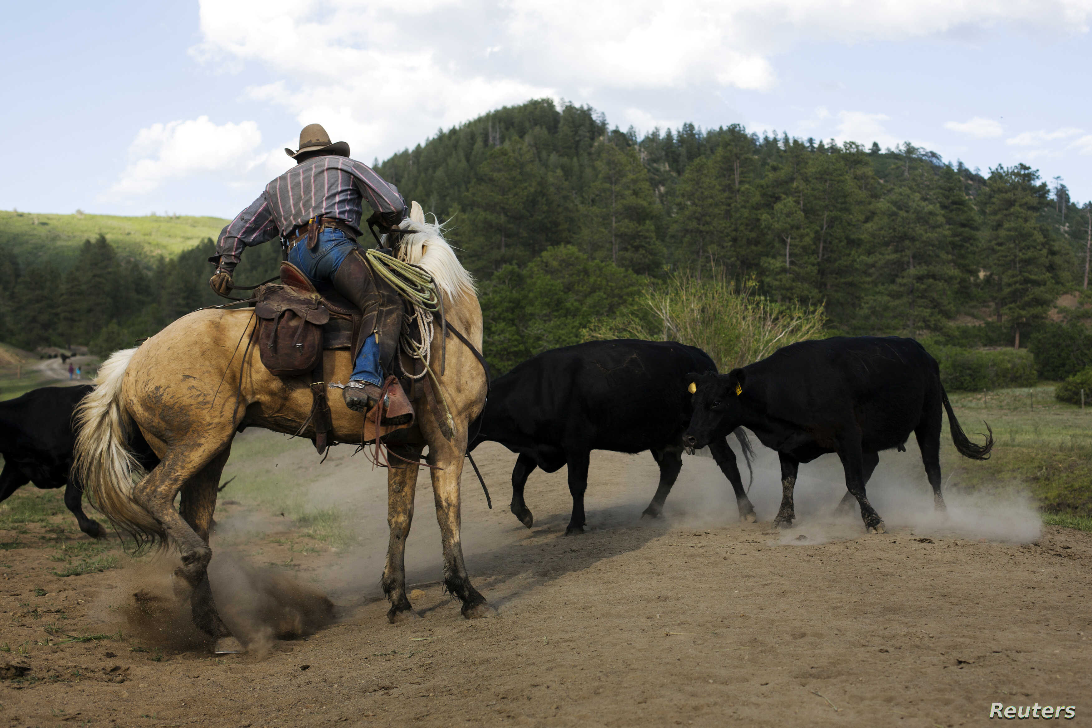 Cowboy Rollo Mangus works to cut mothers and their calves away from the larger herd near Ignacio, Colorado June 12, 2014, part of a management effort to prevent cattle from overgrazing fragile ecosystems on leased public land.
