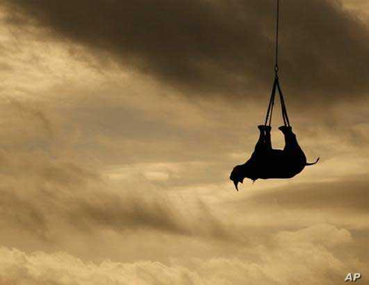 As part of the WWF's efforts to save the black rhino, the organization has been lifting animals by means of helicopters to areas in South Africa's KwaZulu-Natal province
