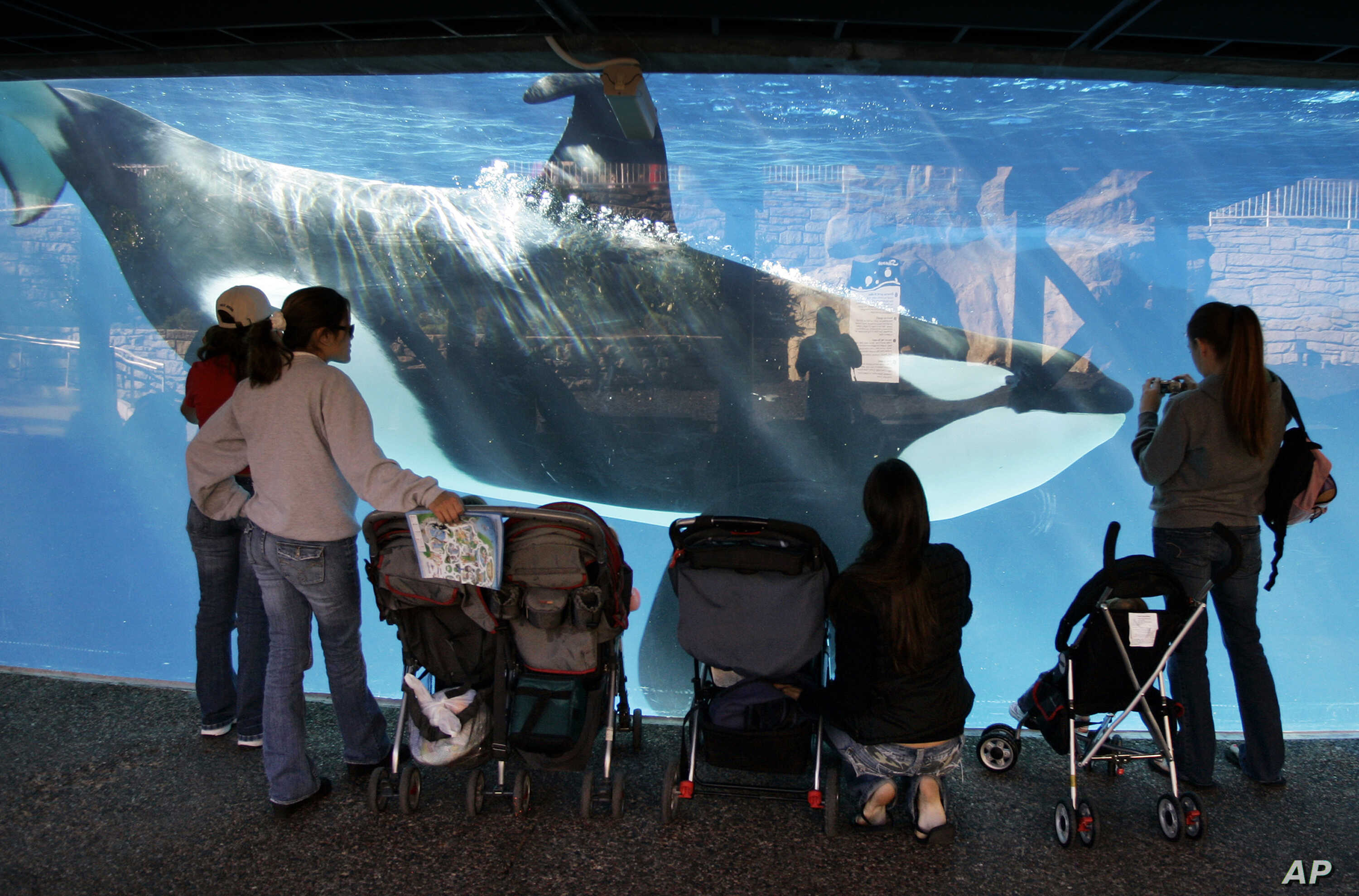 FILE -  In this Nov. 30, 2006, file photo, people watch through glass as a killer whale swims by in a display tank at SeaWorld in San Diego. A SeaWorld executive says orca shows at the company's San Diego park will end by 2017.
