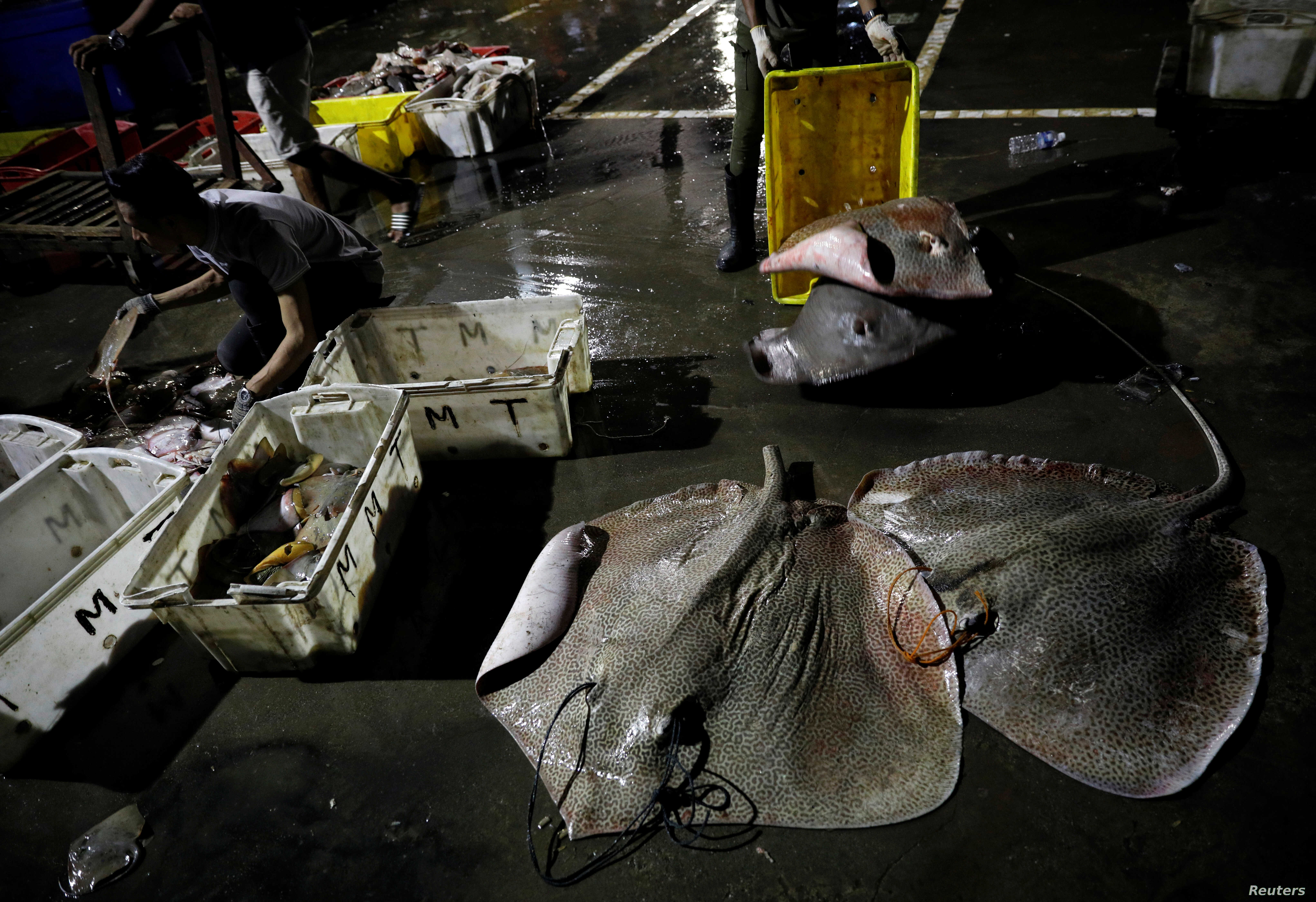 A man sorts stingrays landed by fishermen at a quay in Kota Kinabalu, Malaysia, July 5, 2018.