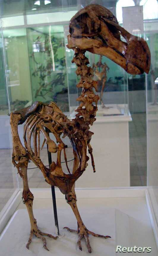 FILE - A skeleton of a Mauritius Dodo bird which was found in a cave at the foot of Le Pouce Mountain at Pailles, in 1900, stands at an exhibition in the Mauritius Institute Museum in Port Louis, Dec. 27, 2005.