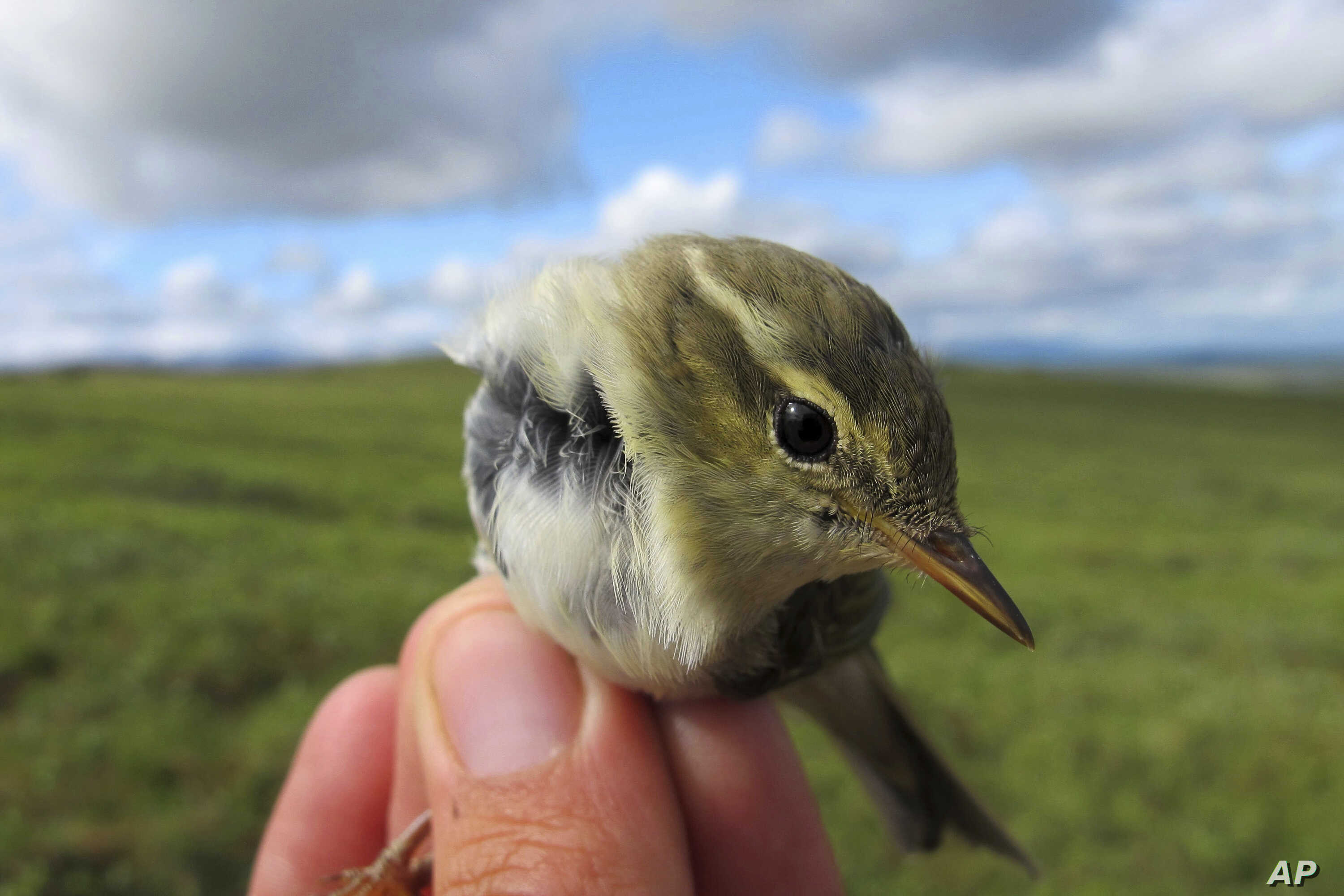 FILE - This July 16, 2016, photo provided by the U.S. Geological Survey shows an Arctic Warbler in Nome, Alaska.