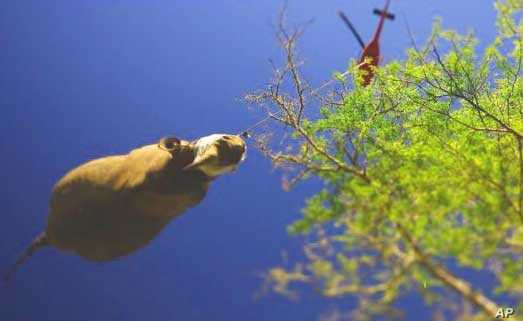 Dr. Flamand said the rhino airlifts were very difficult to accomplish successfully
