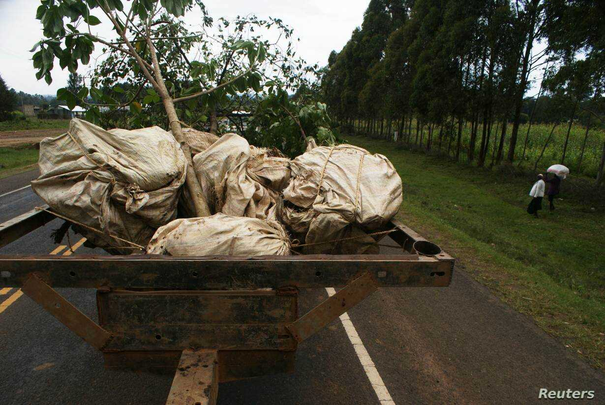 Mature trees are transported from Samuel Rono's farm in Kerita village, southern Kenya, Aug. 28, 2018.