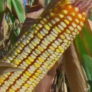Texas scientists are using traditional breeding, rather than genetic engineering, to develop new varieties of maize that  adapt to a changing climate.