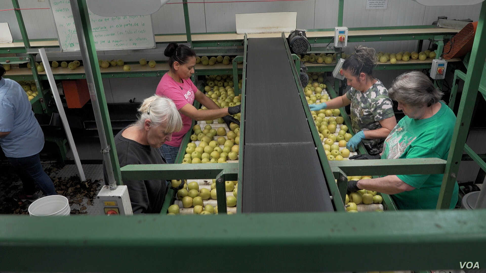 Workers, many of them immigrants, sort apples at the Rice Fruit Company, the largest  apple-packing facility in the Eastern U.S. (M. Kornely/VOA)