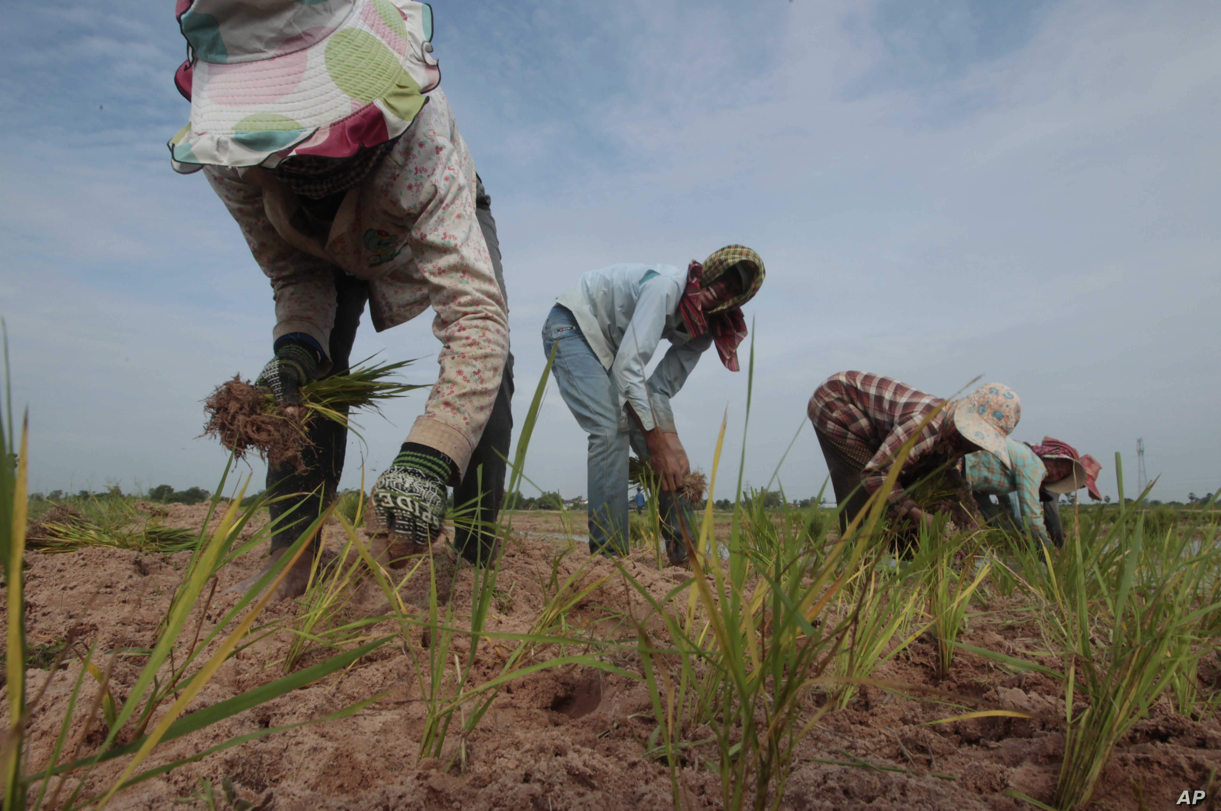 FILE - Cambodian farmers plant rice on the dry earth in the rice paddy on the outskirts of Phnom Penh, Cambodia.