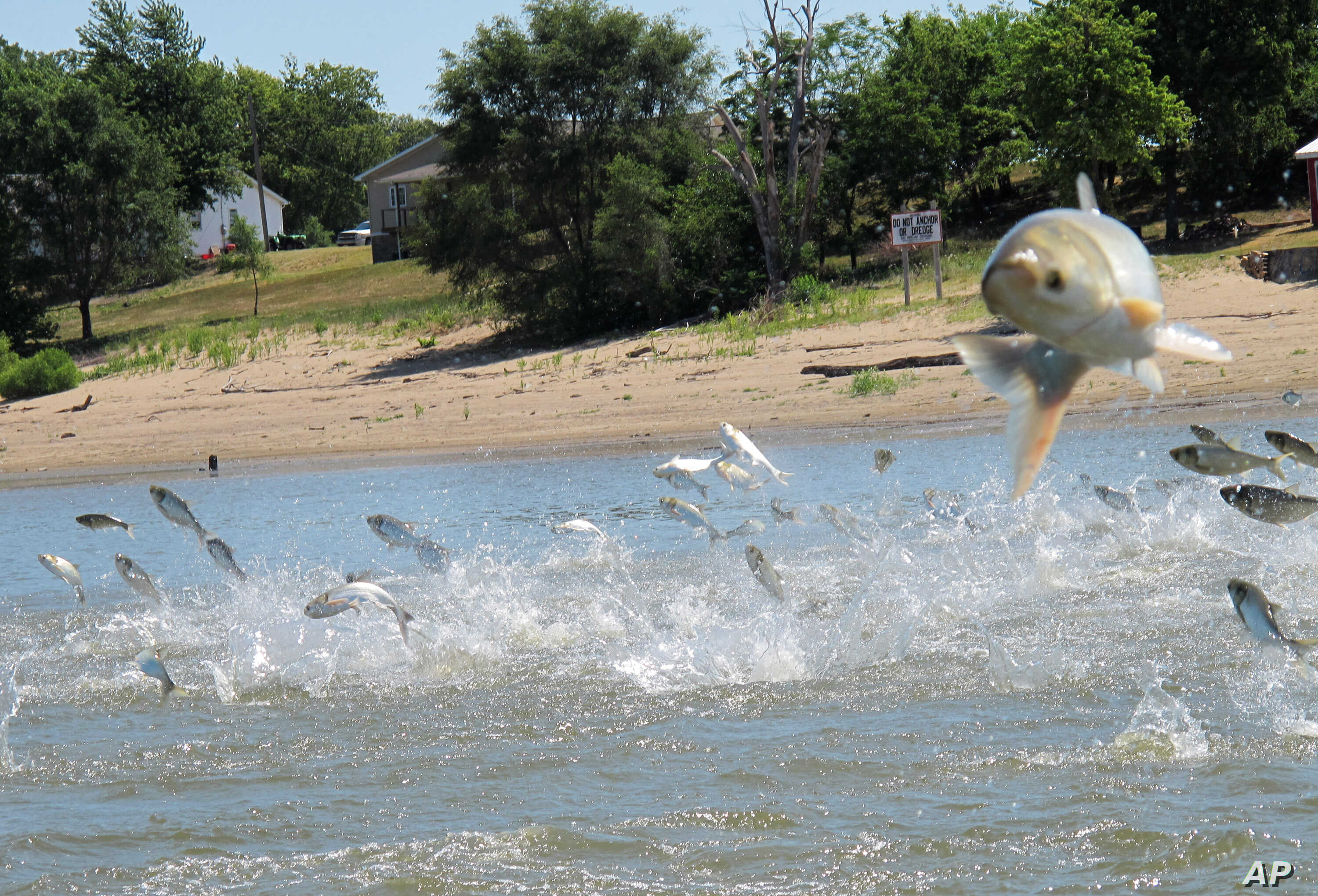 FILE - In this June 13, 2012 file photo, Asian carp, jolted by an electric current from a research boat, jump from the Illinois River near Havana, Illinois.