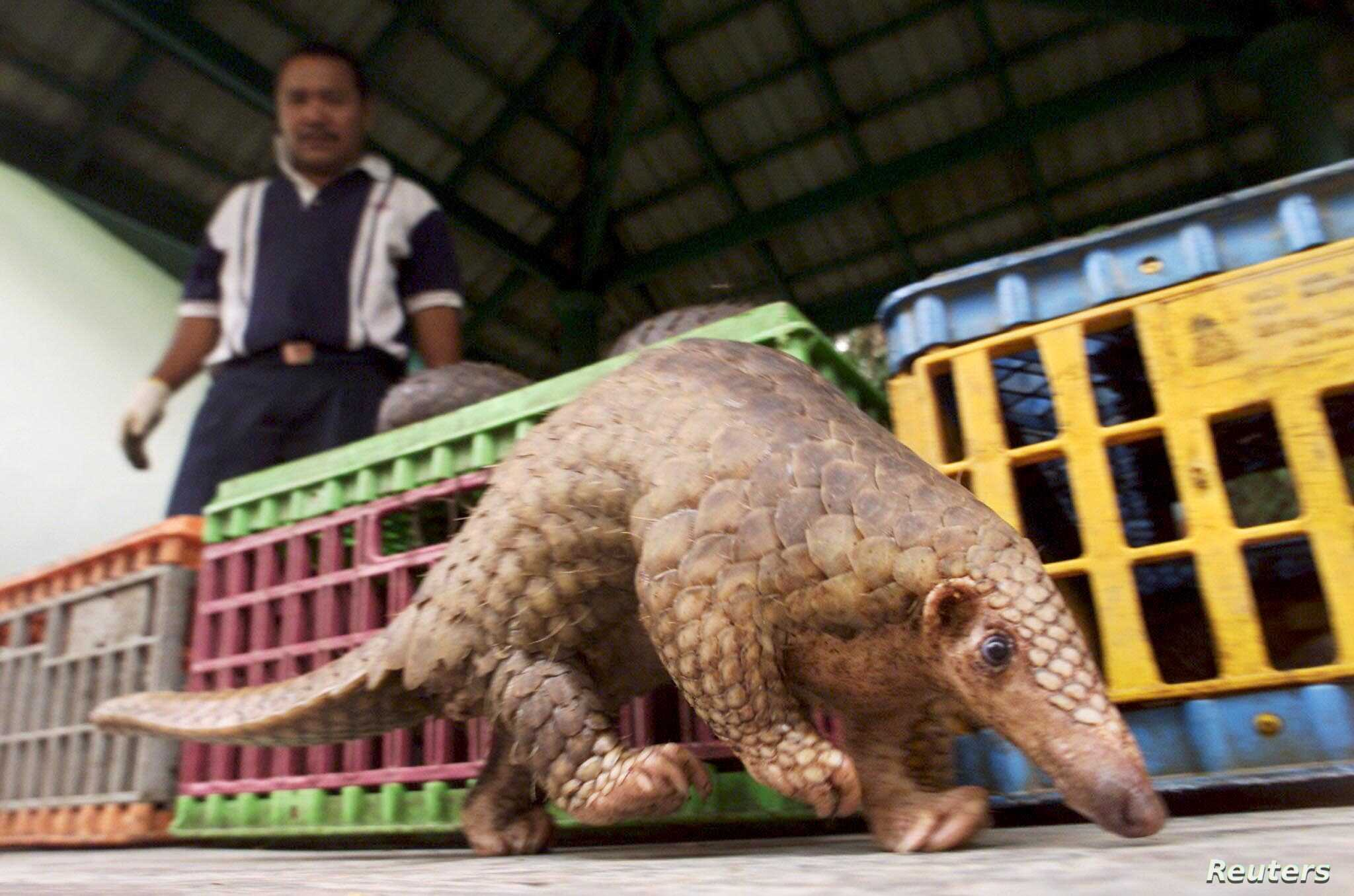FILE- A Malaysian pangolin walks past cages containing 45 others as a wildlife officer watches in Kuala Lumpur, Aug. 8, 2002.