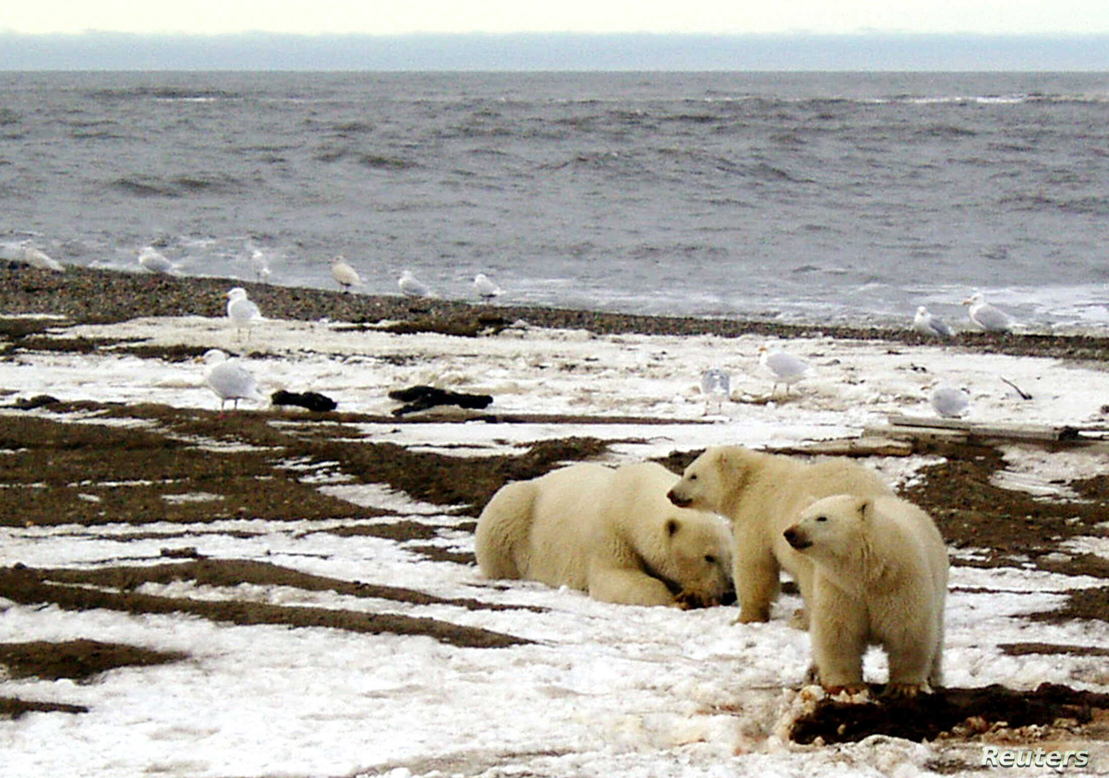 FILE - A polar bear sow and two cubs are seen on the Beaufort Sea coast within the 1002 Area of the Arctic National Wildlife Refuge in this undated handout photo provided by the U.S. Fish and Wildlife Service Alaska Image Library.