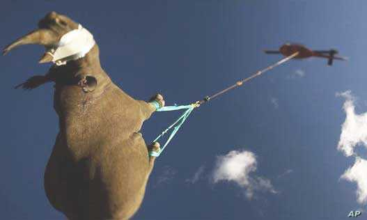 The Worldwide Fund for Nature has been relocating rare black rhino to areas in South Africa where the animals will hopefully breed