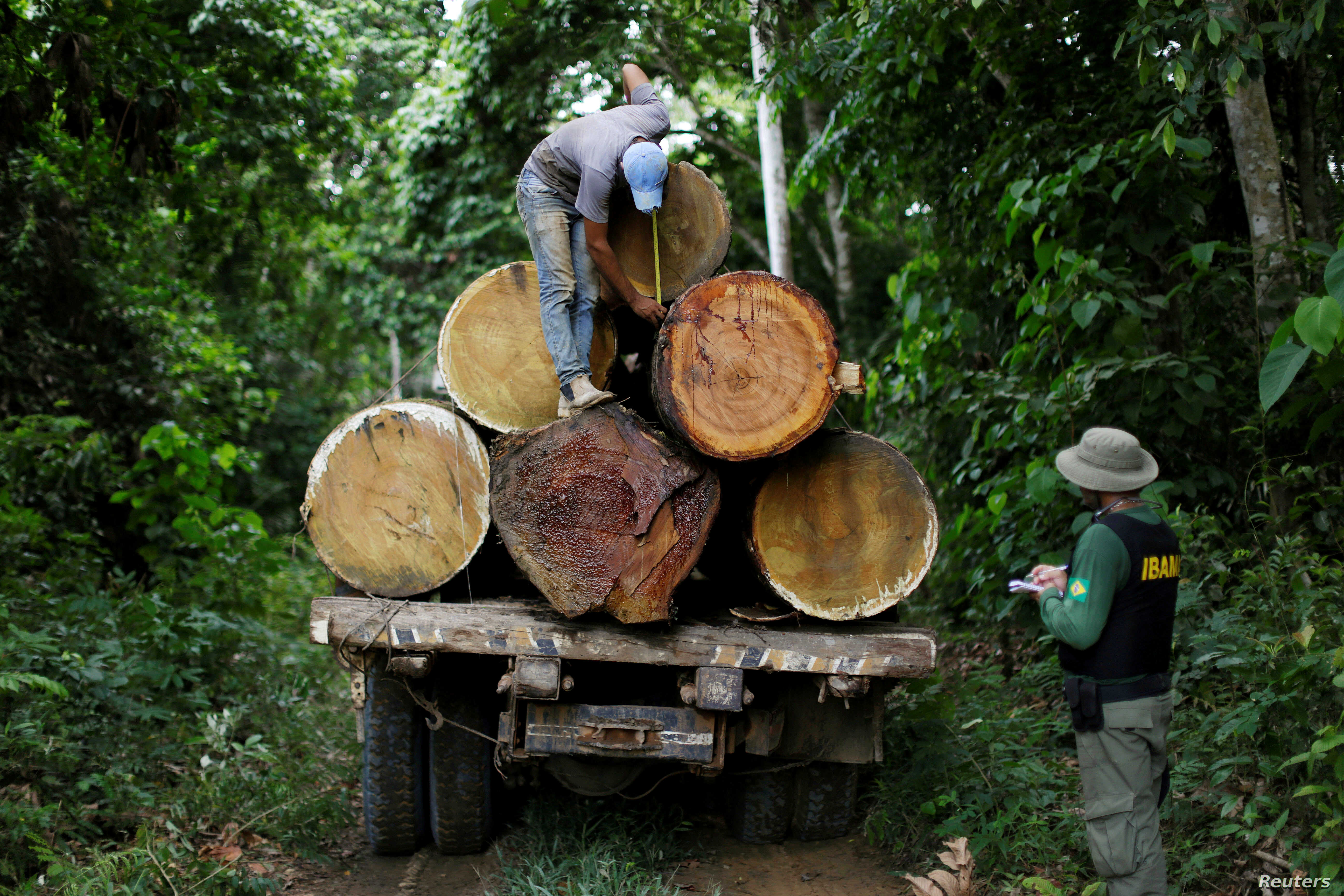 A Brazilian Institute for the Environment and Renewable Natural Resources agent measures a tree trunk during an operation to combat illegal mining and logging in the municipality of Novo Progresso, Para State, northern Brazil, Nov. 11, 2016.