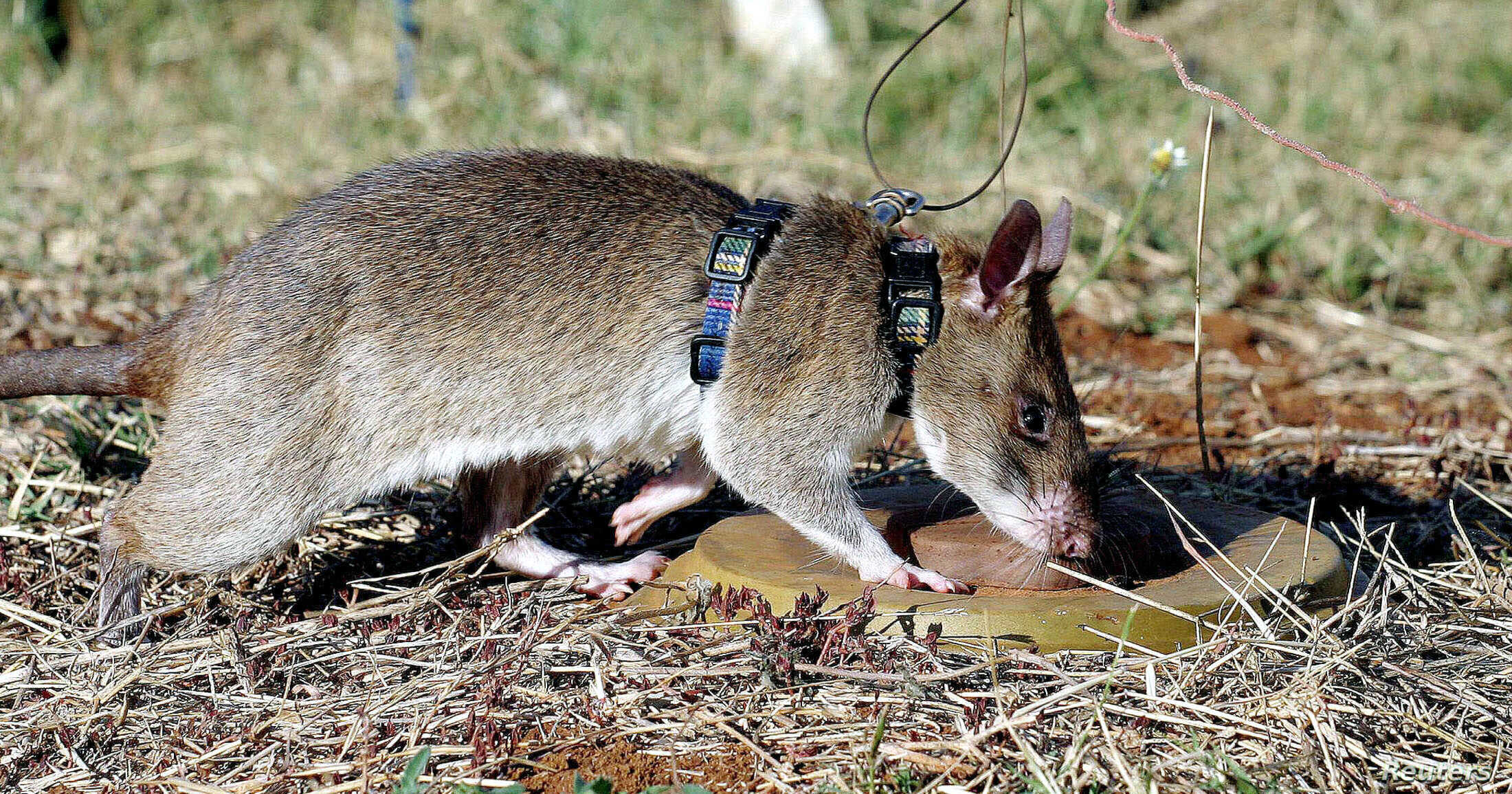"FILE - A African giant pouched rat identifies a landmine during training in sniffing and detecting landmines at the Sokoine University landmine fields in Morogoro Tanzania, Sept. 16, 2004. The animals, which proved to be ""competent mine locators,"" ar..."