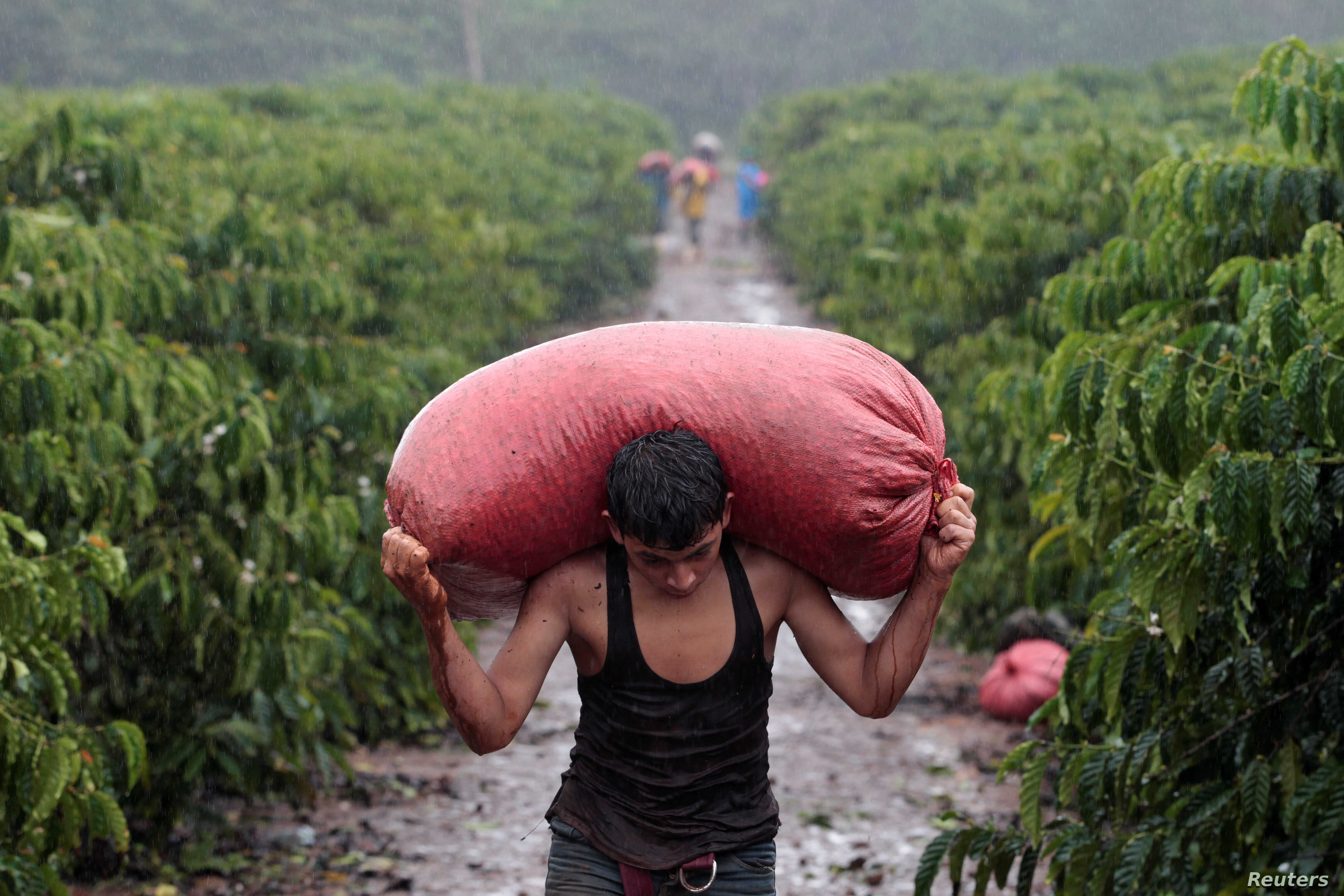 A worker carries a sack of recently harvested robusta coffee fruits at a plantation in Nueva Guinea, Nicaragua, Dec. 29, 2017.