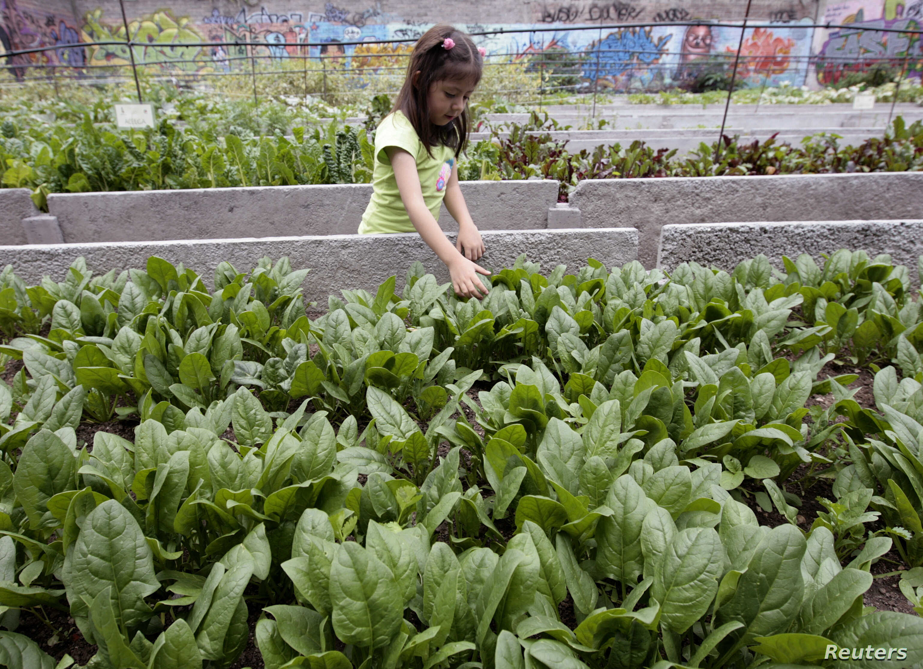 Maria Fernanda, 4, walks next to an urban vegetable garden in Iztapalapa district, Mexico City, July 31, 2008. Under the rule of the ancient Aztecs, Mexico City was a maze of canals and floating gardens that grew corn and beans to feed the masses. Hu...