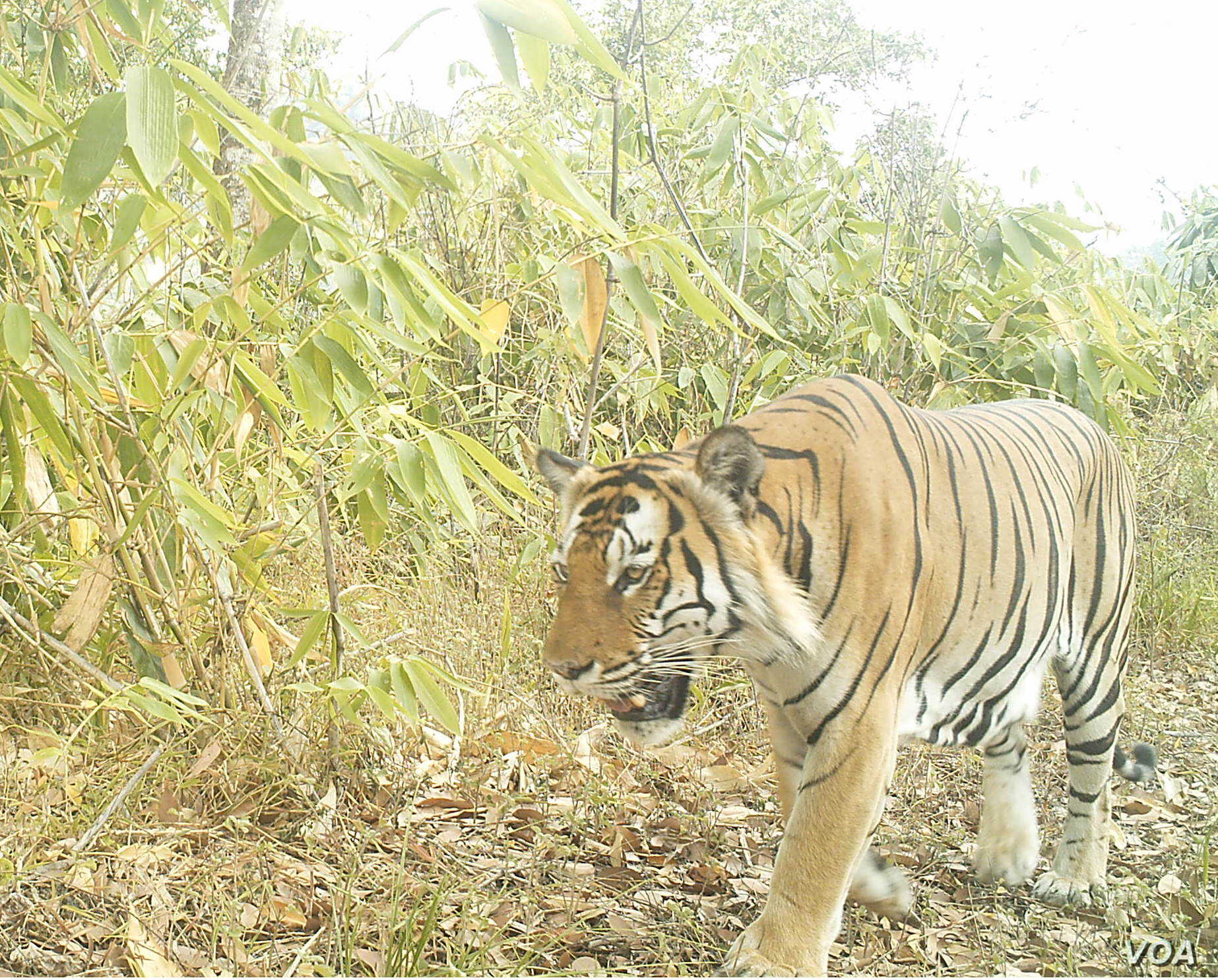 A tiger is seen at a wildlife sanctuary in Myanmar's northern Karen state. In a bid to preserve the sanctuary and to promote alternative development, local activists have launched the Karen Wildlife Conservation Initiative. (Photo - Karen Wildlife ...