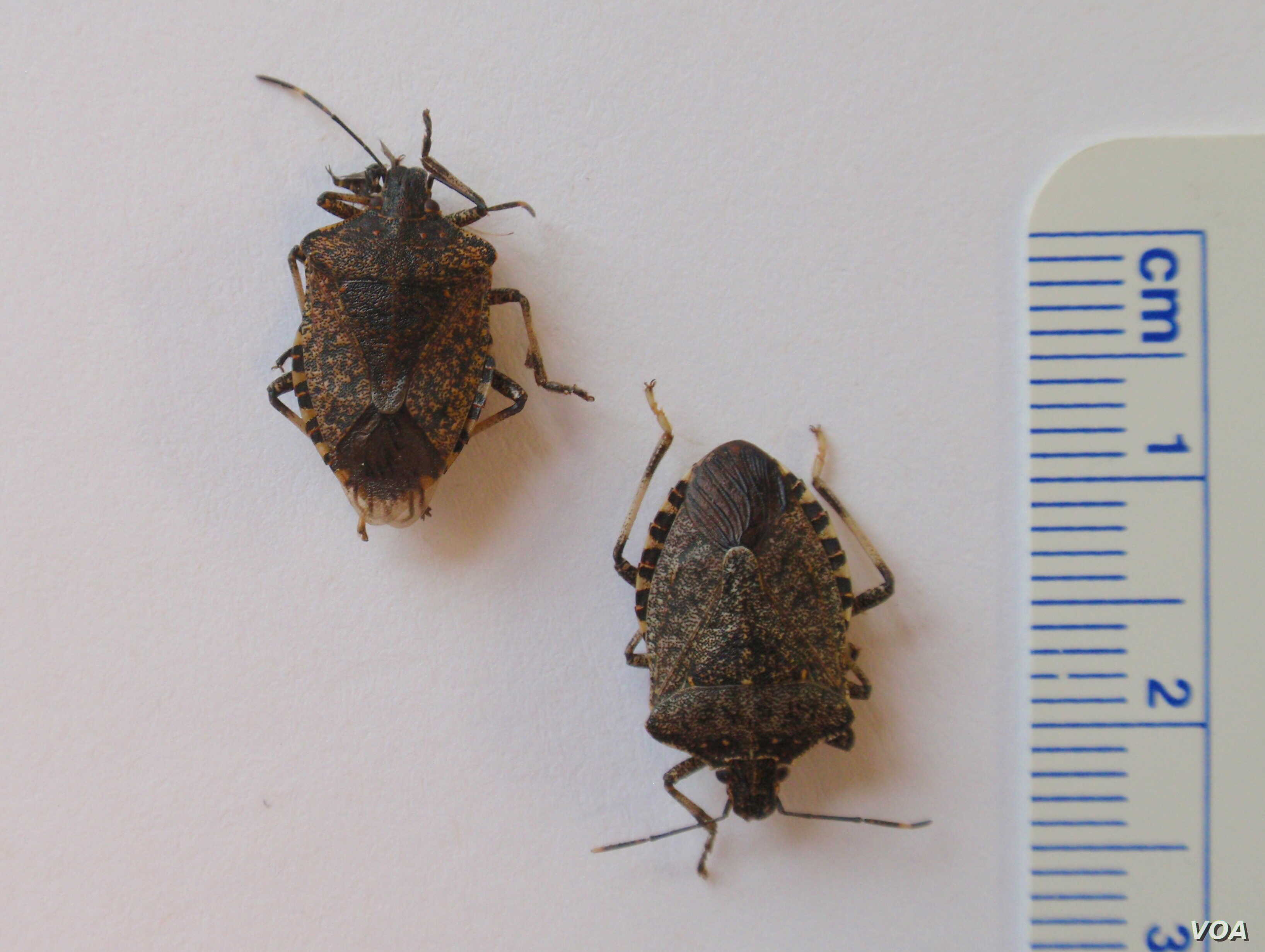 The brown marmorated stink bug is 1-2 centimeters in length (VOA/T. Banse)