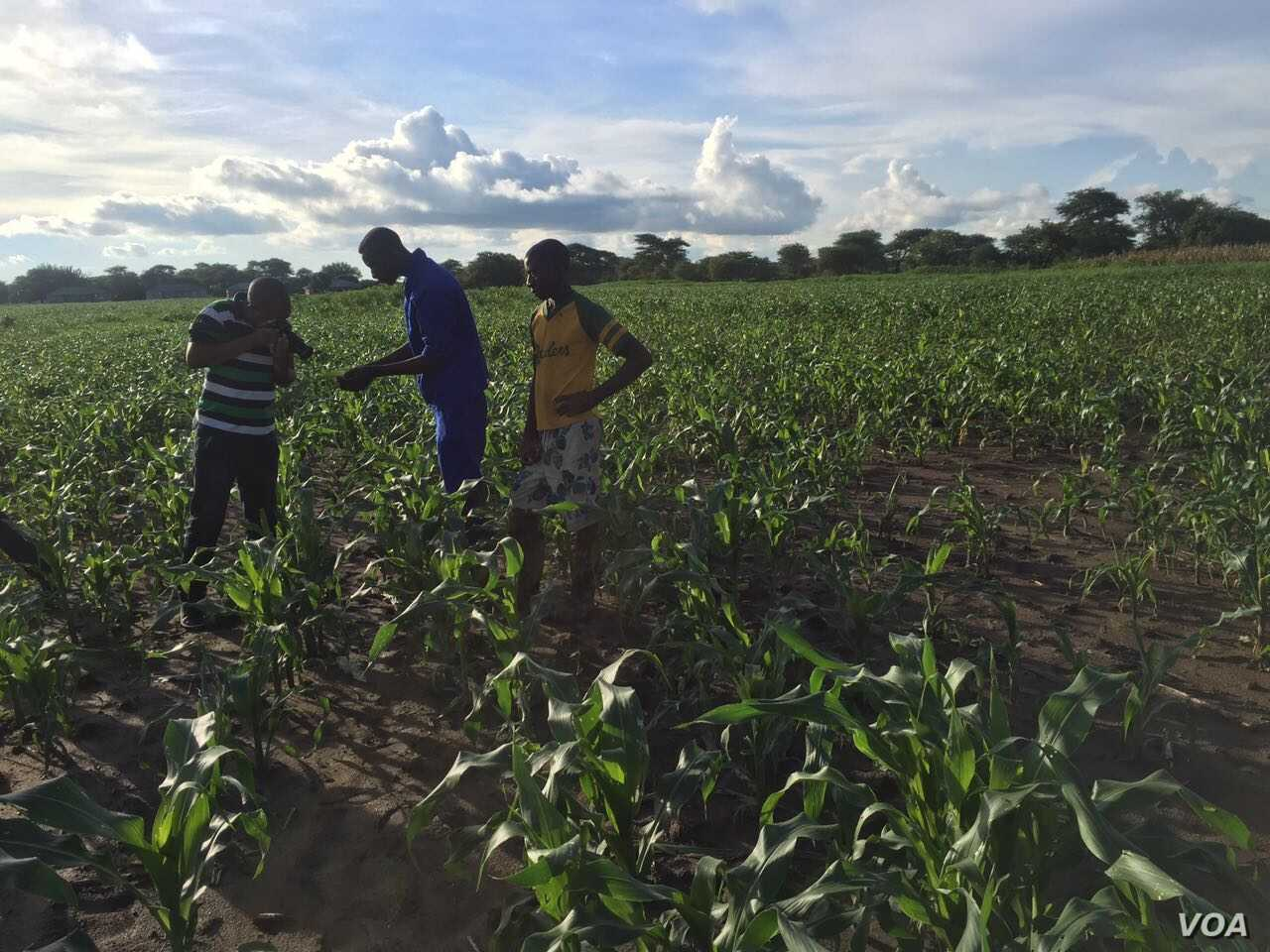 The army worms invasion has attrached a lot of media attention in Zambia. (Courtesy - Derrick Sinjela in Zambia)